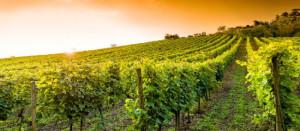 vite-vigneto-vitivinicoltura-Umbria